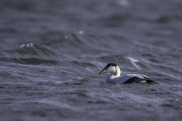 Common eider swimming in the sea