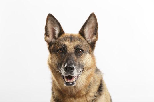 Studio portrait of an expressive German Shepherd dog against neutral background