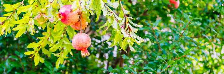 Red ripe pomegranate fruits grow on  tree in the garden, banner background