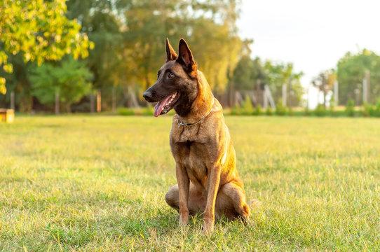 Portrait of a Malinois Belgian Shepherd dog sitting on the grass