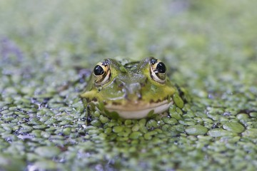 Green frog (Rana esculenta), between duckweed (Lemna minor), Lower Saxony, Germany, Europe