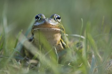 Green frog (Rana esculenta), sits in the grass, animal portrait, Lower Saxony, Germany, Europe