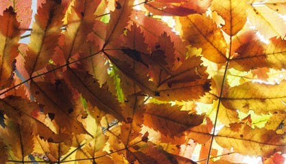 Fallen autumn leaves on the lumen. Texture. A background photo.