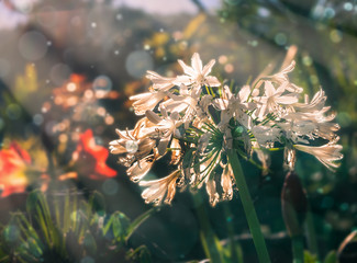 Wall Mural - Lilly flower with bokeh in the sunrise morning