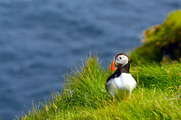 Atlantic Puffin (Fratercula arctica) stood on cliff