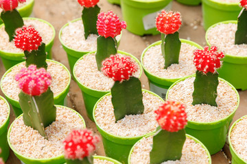Blooming decorative cactuses with red head