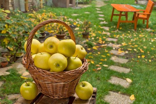 Yellow apples in the wicker basket in the garden