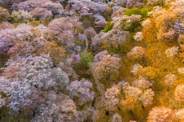 Cherry tree blossom top view