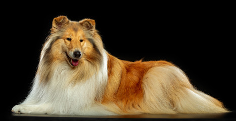 Collie Dog on Isolated Black Background in studio
