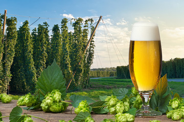 Glass of beer with hop cones in front of hop field.