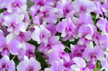 Beautiful orchid flowers in farm