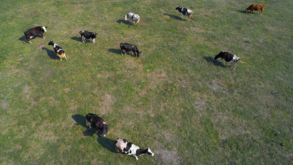 aerial view of cows on green pasture in Ukraine