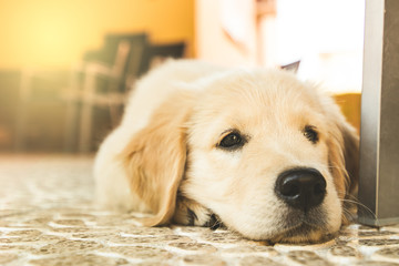 Portrait of a puppy golden retriever .Picture of an adorable brown dog