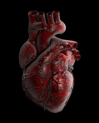 Human Heart - Anatomy of Human Heart 3d Illustration