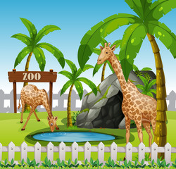 Giraffes in azoo enclosure