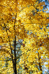 Autumn forest scenery with yellow maple trees