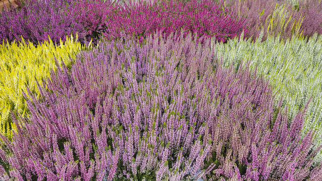 Heather plants in several colors