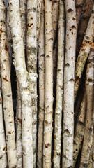 Many thin trunks of Silver birch (Betula pendula)
