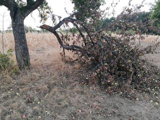 Apfelbaum bei Dürre