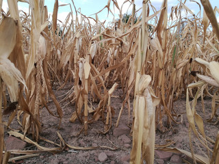 Mais nach Dürrekatastrophe