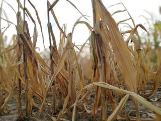 Wassermangel in der Landwirtschaft