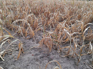 Maisfeld Dürre Hitze