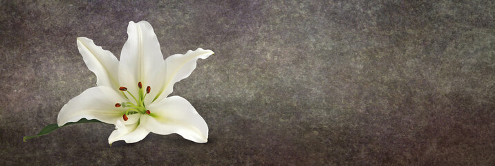 Lone Lily on Grunge Background - a single white lily head with rustic style on a wide warm brown graduated background and copy space on right side ideal as a website banner head