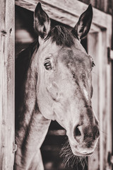 Spoed Foto op Canvas Xian Black and white portrait of a brown horse looking out of his stable