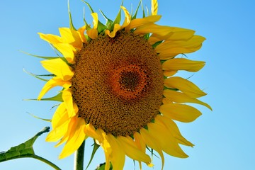 Large bright sunflower in the field on the background of the blue sky close-up.