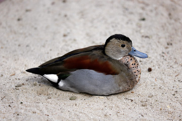 Full body of male ringed teal duck