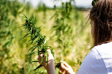 young woman harvesting marijuana buds on a field