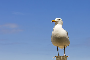 One seagull at the top of a wooden pole