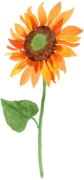 Watercolor orange sunflower flower. Floral botanical flower. Isolated illustration element. Aquarelle wildflower for background, texture, wrapper pattern, frame or border.