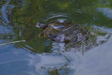 Turtle in a pond.