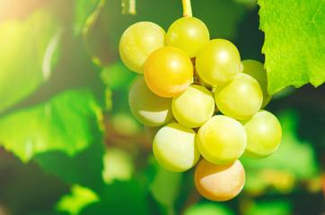 Sweet ripe white grapes, close-up.