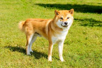 Shiba Inu looks in camera. The Shiba Inu stands on the green grass.