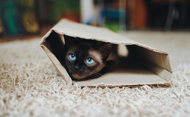 Siamese cat hides in a cardboard box. Cat Games. Cat's with blue eyes. Instinct to hunt.