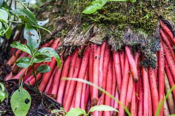 Red roots of palm tree in Atlantic Rainforest, Serrinha do Alambari Ecological Reserve, Rio de Janeiro, Brazil