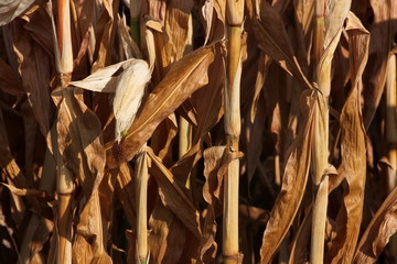 Stems of dried out maize plants on a German field
