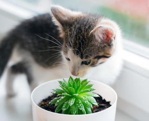 The domestic striped kitten plays with a succulent pot