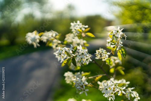 The First Spring Flowering Bushes And Trees White Flowers Of