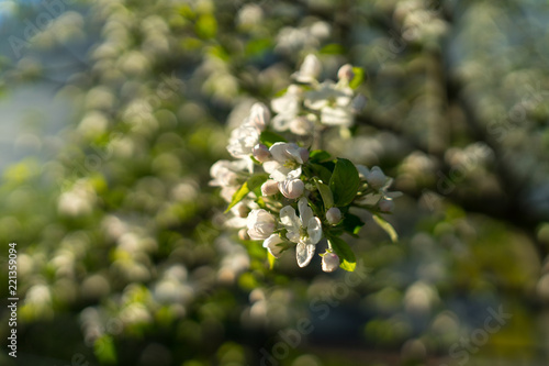 The first spring flowering bushes and trees flowers of an apple the first spring flowering bushes and trees flowers of an apple tree close up stock photo and royalty free images on fotolia pic 221359094 mightylinksfo
