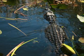 crocodiles in lake