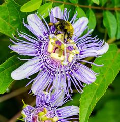 Bee on purple passion flower