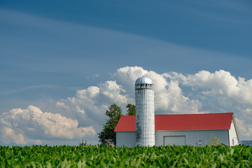 Amish farm storage silo and homestead  sit behind rows of planted, fresh corn as birds fly around looking for scraps