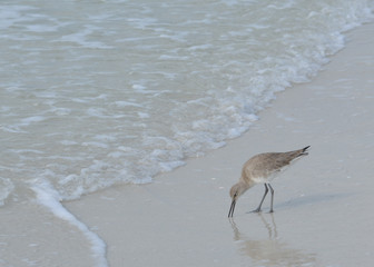 The willet sand piper on a florida beach.
