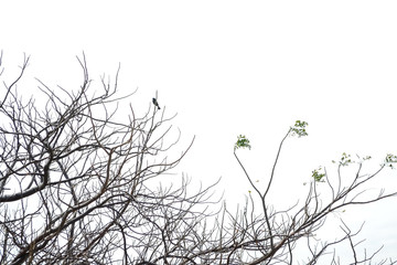 black bird posing on a dry tree