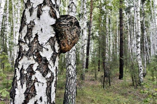 mushroom with the Latin name Inonotus obliquus grew on birch