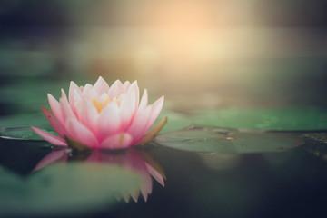 beautiful lotus flower on the water after rain in garden. Fototapete