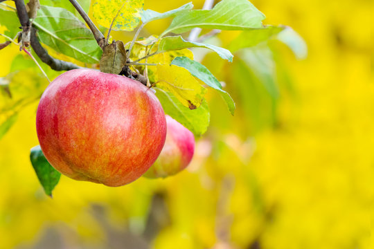 red apple on the branch. healthy food and ripe crop harvest time in autumn